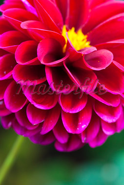 Close-up of Pompom Dahlia Stock Photo - Premium Royalty-Free, Artist: F. Lukasseck, Code: 600-05803103