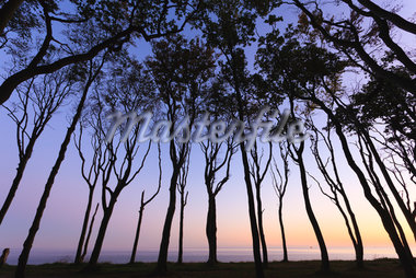 European Beech Trees of Ghost Forest and Baltic Sea, Nienhagen, Mecklenburg-Vorpommeren, Germany Stock Photo - Premium Royalty-Free, Artist: F. Lukasseck, Code: 600-05803113