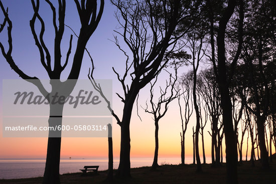 European Beech Trees of Ghost Forest and Baltic Sea, Nienhagen, Mecklenburg-Vorpommeren, Germany Stock Photo - Premium Royalty-Free, Artist: F. Lukasseck, Code: 600-05803114