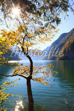 Beech Tree in Autumn, Lake Koenigssee, Berchtesgadener Land, Bavaria, Germany Stock Photo - Premium Royalty-Free, Artist: F. Lukasseck, Code: 600-05837562