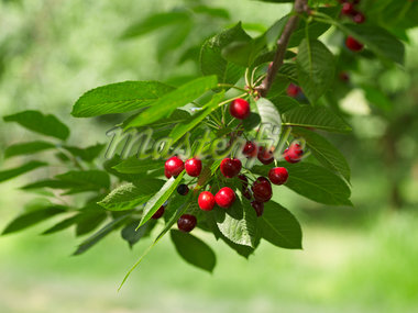 Sour Cherries, Beamsville, Niagara Region, Ontario, Canada Stock Photo - Premium Royalty-Free, Artist: Michael Mahovlich, Code: 600-05855174
