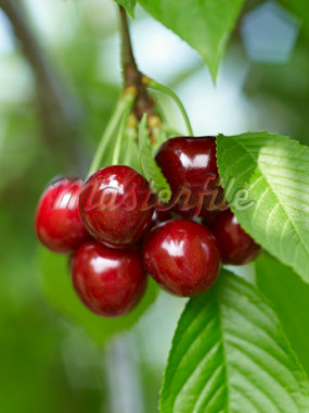 Sweet Cherries, Beamsville, Niagara Region, Ontario, Canada Stock Photo - Premium Royalty-Free, Artist: Michael Mahovlich, Code: 600-05855179