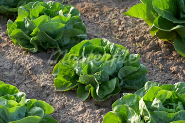 Boston Lettuce, Fenwick, Ontario, Canada Stock Photo - Premium Royalty-Free, Artist: Michael Mahovlich, Code: 600-05855215