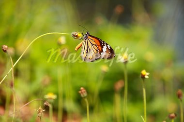 Striped Tiger(Danaus genutia genutia) Butterfly feeding on flowers. Stock Photo - Royalty-Free, Artist: srimohamed                    , Code: 400-05880536