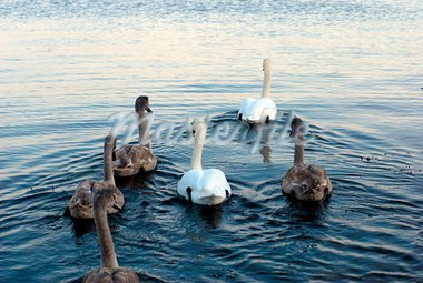 Family of Swans in Little Belt, Denmark. December winter. Stock Photo - Royalty-Free, Artist: A1B2                          , Code: 400-05882687