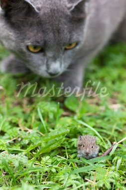 Gray cat hunting after mouse on a gree grass Stock Photo - Royalty-Free, Artist: AGorohov                      , Code: 400-05883290