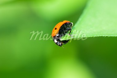 Macro view of ladybird sitting on a green leaf Stock Photo - Royalty-Free, Artist: AGorohov                      , Code: 400-05883356