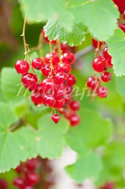 A close up of ripe Red Currants growing in a garden Stock Photo - Royalty-Free, Artist: larshallstrom                 , Code: 400-05883984