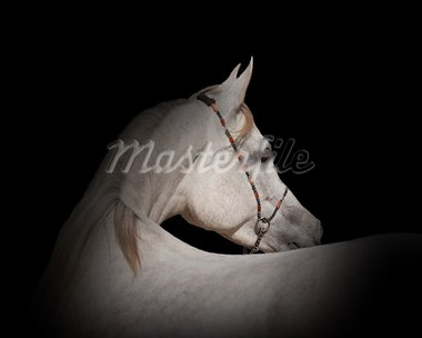 a white straight egyptian horse on a black background Stock Photo - Royalty-Free, Artist: Olya85                        , Code: 400-05884766