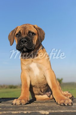 portrait of a purebred puppy Bull Mastiff Stock Photo - Royalty-Free, Artist: cynoclub                      , Code: 400-05887862