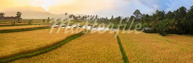 Panorama of the paddy rice field. Bali Stock Photo - Royalty-Free, Artist: GoodOlga                      , Code: 400-05888452