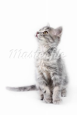 Cute gray kitten looking up on the white background Stock Photo - Royalty-Free, Artist: Pshenichka                    , Code: 400-05888910