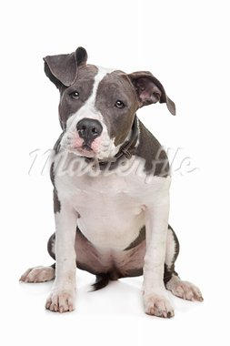 American stafford in front of a white background Stock Photo - Royalty-Free, Artist: eriklam                       , Code: 400-05889170