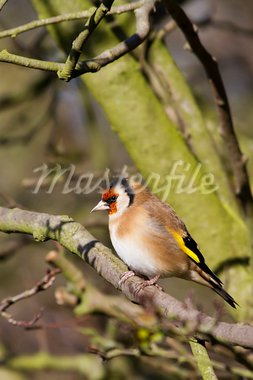 Goldfinch perched on a branch in winter Stock Photo - Royalty-Free, Artist: chris2766                     , Code: 400-05893514