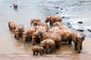 Herd of elephants bathing in the river, Sri Lanka Stock Photo - Royalty-Free, Artist: nazzu                         , Code: 400-05899874