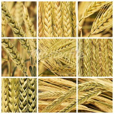 collage ears of cereal, barley, wheat and rye Stock Photo - Royalty-Free, Artist: luiscar                       , Code: 400-05902082