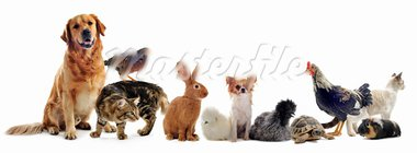 group of pet in front of a white background Stock Photo - Royalty-Free, Artist: cynoclub                      , Code: 400-05905812