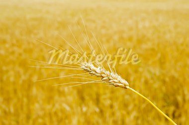 gold wheat Stock Photo - Royalty-Free, Artist: mycola                        , Code: 400-05907154
