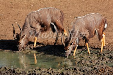 Two male Nyala antelopes (Tragelaphus angasii) drinking water, Mkuze game reserve, South Africa  Stock Photo - Royalty-Free, Artist: EcoShow                       , Code: 400-05936197
