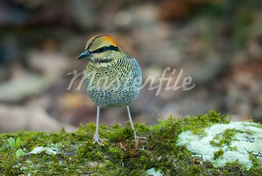 beautiful female blue pitta (Pitta cyanea) Stock Photo - Royalty-Free, Artist: cowboy54                      , Code: 400-05939262