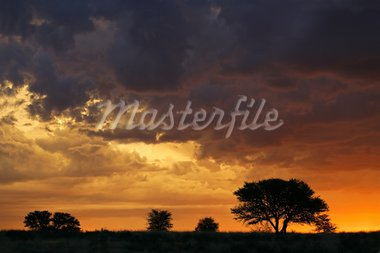 Sunset with silhouetted African Acacia trees, Kalahari desert, South Africa  Stock Photo - Royalty-Free, Artist: EcoShow                       , Code: 400-05946705