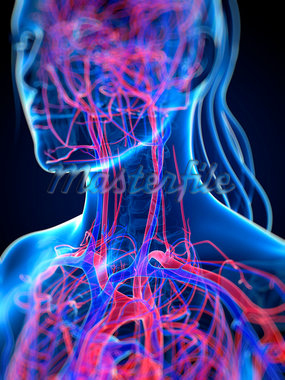 Cardiovascular system, computer artwork. Stock Photo - Premium Royalty-Freenull, Code: 679-05994512