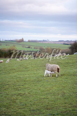 Sheep Grazing in Hills, Scunthorpe, Lincolnshire, England Stock Photo - Premium Royalty-Free, Artist: Michael Mahovlich, Code: 600-06009235