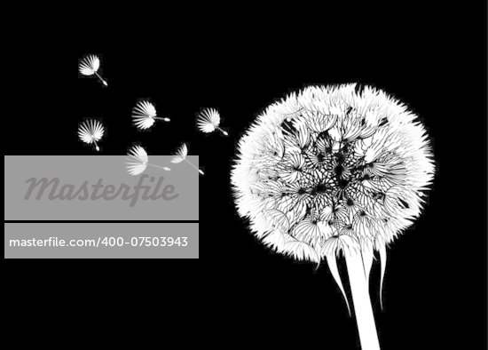 Vector silhouette of a dandelion on a black background
