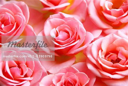 Botanical flower background of pink rose blossoms