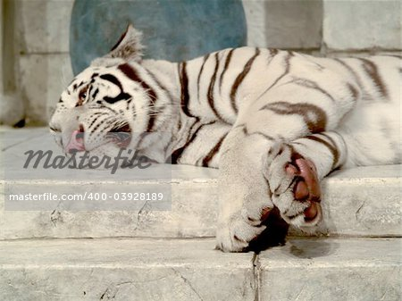 White tiger lying down Stock Photo - Budget Royalty-Free, Image code: 400-03928189