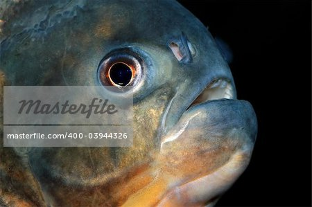 Portrait of a piranha fish Stock Photo - Budget Royalty-Free, Image code: 400-03944326