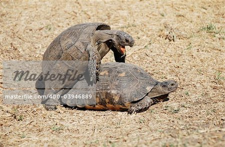 Couple of turtles making love in the centre of Athens, Greece Stock Photo - Budget Royalty-Free, Image code: 400-03946889