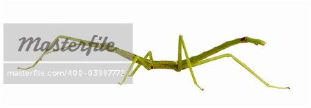 stick insect, Phasmatodea - pharnacia ponderasa in front of a white backgroung Stock Photo - Budget Royalty-Free, Image code: 400-03997772