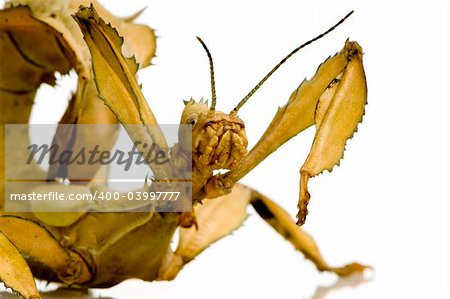 stick insect, Phasmatodea - Extatosoma tiaratum in front of a white backgroung Stock Photo - Budget Royalty-Free, Image code: 400-03997777