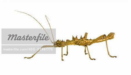 stick insect, Phasmatodea - Aretaon Asperrimus in front of a white backgroung Stock Photo - Budget Royalty-Free, Image code: 400-03997779
