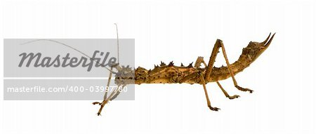 stick insect, Phasmatodea - Aretaon Asperrimus in front of a white backgroung Stock Photo - Budget Royalty-Free, Image code: 400-03997780