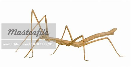 stick insect, Phasmatodea - Medauroidea extradentata in front of a white backgroung Stock Photo - Budget Royalty-Free, Image code: 400-03997781