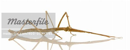 stick insect, Phasmatodea - Medauroidea extradentata in front of a white backgroung Stock Photo - Budget Royalty-Free, Image code: 400-03997783