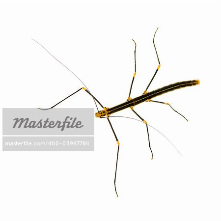 stick insect, Phasmatodea - Oreophoetes peruana in front of a white backgroung Stock Photo - Budget Royalty-Free, Image code: 400-03997784