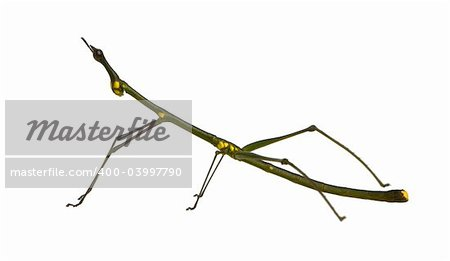 stick insect, Phasmatodea - Oreophoetes peruana in front of a white backgroung Stock Photo - Budget Royalty-Free, Image code: 400-03997790