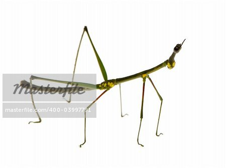 stick insect, Phasmatodea - Oreophoetes peruana in front of a white backgroung Stock Photo - Budget Royalty-Free, Image code: 400-03997791