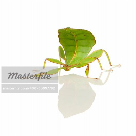 leaf insect, Phylliidae - Phyllium sp in front of a white backgroung Stock Photo - Budget Royalty-Free, Image code: 400-03997792