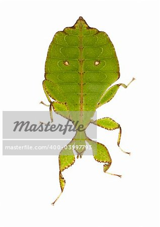 leaf insect, Phylliidae - Phyllium sp in front of a white backgroung Stock Photo - Budget Royalty-Free, Image code: 400-03997793