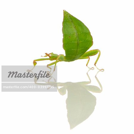 leaf insect, Phylliidae - Phyllium sp in front of a white backgroung Stock Photo - Budget Royalty-Free, Image code: 400-03997795
