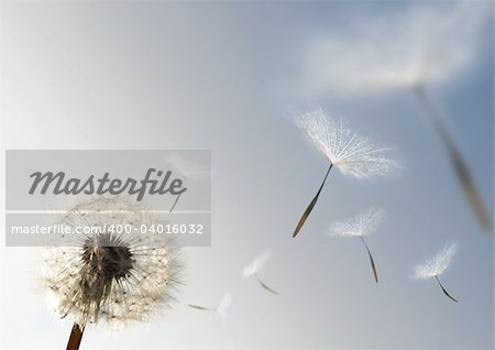 A Dandelion blowing seeds in the wind. Stock Photo - Budget Royalty-Free, Image code: 400-04016032