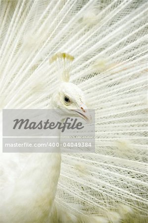 closeup on a nice white peacock Stock Photo - Budget Royalty-Free, Image code: 400-04049384