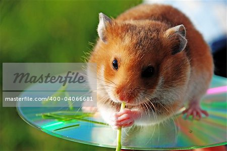A hamster is a darling by children young wild of animal. Stock Photo - Budget Royalty-Free, Image code: 400-04066681