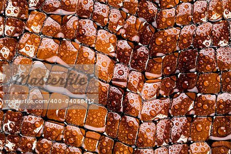 Snakeskin texture - leather background Stock Photo - Budget Royalty-Free, Image code: 400-04068412