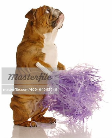 english bulldog holding cheerleading pompoms isolated on white background Stock Photo - Budget Royalty-Free, Image code: 400-04083048