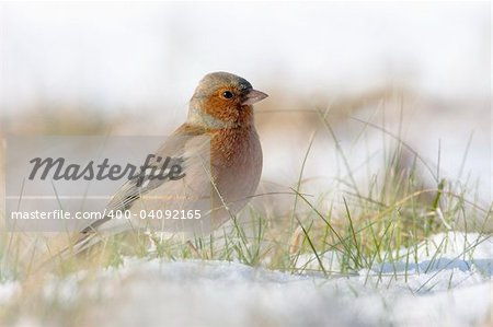Chaffinch in the snow in a cold winter. You can see every detail of the head. Stock Photo - Budget Royalty-Free, Image code: 400-04092165